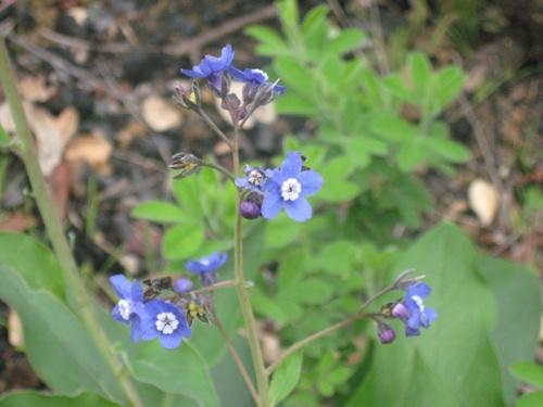 spring_stickseed